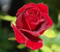 deuil-bebe-fleur-rose-mere